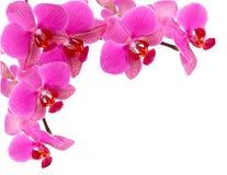 Frame da orquídea Foto de Stock Royalty Free