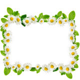 Frame: daisies and green leaves Royalty Free Stock Photography