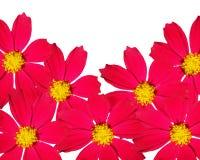 Frame decorativo do escarlate das flores. Foto de Stock Royalty Free