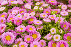A frame filled with rose Asters Royalty Free Stock Image