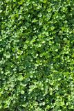 Frame filled with sunny clover in a field Stock Image
