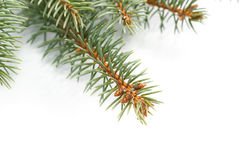 Frame of fir branches Royalty Free Stock Photography