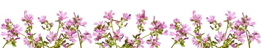 Frame with flowering pink mallow on a white background. Stock Images