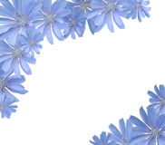 Frame with flowers(chicory). Blue wild flowers isolated on white and framing copy space Royalty Free Stock Photo