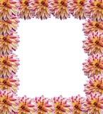Frame of flowers dahlias. Frame of dahlias on white background Stock Images