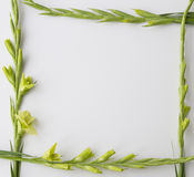 Frame of flowers Gladiolus on white background. Flat lay, top view Stock Photography