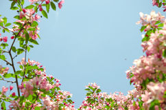 Frame by flowers of paradise apple tree. Pink flowers of paradise apple tree. Spring time Royalty Free Stock Image