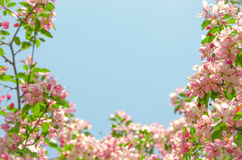 Frame by flowers of paradise apple tree. Pink flowers of paradise apple tree. Spring time Stock Photos