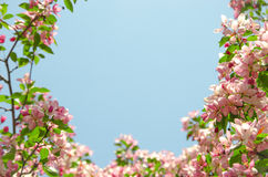 Frame by flowers of paradise apple tree. Pink flowers of paradise apple tree. Spring time Stock Image