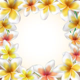 Frame from Frangipani flowers Royalty Free Stock Images