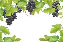 Frame fresco da vinha com uvas pretas Foto de Stock Royalty Free