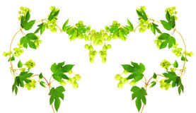 Frame with fresh hop branches Stock Photography