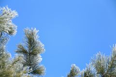 Frame of frosted pine branches. Pine branches frosted on blue sky background Stock Photography