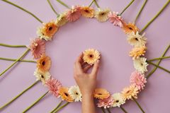 Frame of gerbera flowers on a pink background with female hand Royalty Free Stock Photo