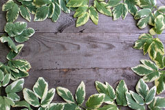 Frame from goutweed variegated leaves on old unpainted wooden ba Stock Image