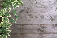 Frame from goutweed variegated leaves on old unpainted wooden ba Royalty Free Stock Image