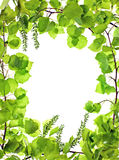 Frame of green asp leafage;. Frame of green asp leafage isolated Royalty Free Stock Images