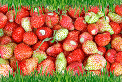Frame of green grass on the background of wild strawberries. Royalty Free Stock Image