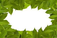 Frame of green leaves. A blank frame made out of green actinidia leaves Royalty Free Stock Photo