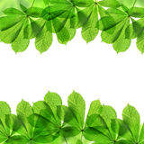Frame from green leaves of chestnut tree Royalty Free Stock Image
