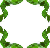 Frame of green leaves on a white background Royalty Free Stock Image
