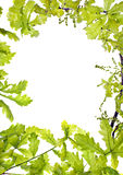 Frame of green oak leafage;. Frame of green oak leafage isolated Royalty Free Stock Photos