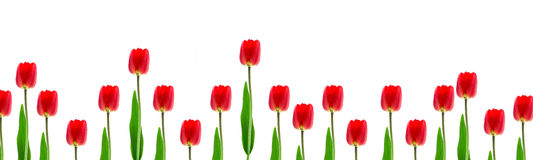 Frame from growings tulips Royalty Free Stock Image