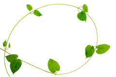 Frame of heart-shaped green leaf vine on white background Royalty Free Stock Photography