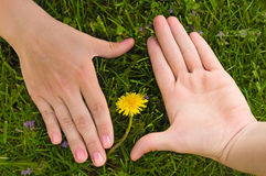 Frame from human hands. With flower in the middle of it. Green grass is background Stock Image