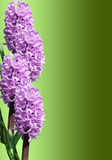 Frame from hyacinth Royalty Free Stock Photography