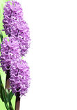 Frame of hyacinth Stock Photography