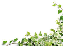 Frame of ivy. On white background Royalty Free Stock Photo