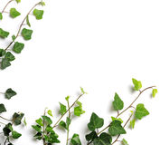 Frame of ivy Royalty Free Stock Images