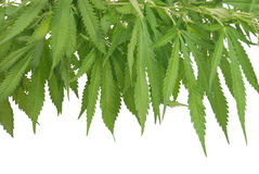 Frame from leaves of a hemp Stock Image