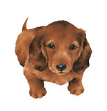 Frame of lovely dog Dachshund, Royalty Free Stock Images