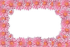 Frame made of chrysanthemum flowers. On a white background Royalty Free Stock Image