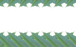 Frame made of green leaves of mango tree isolated on white backg Stock Images
