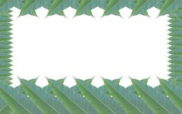 Frame made of green leaves of mango tree isolated on white backg Royalty Free Stock Photos