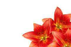 Frame made of orange lilies lilies Royalty Free Stock Photography