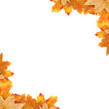 Frame maple leaves. On a white background royalty free stock photo
