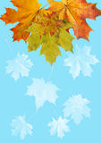 Frame from  maple leaves Royalty Free Stock Images