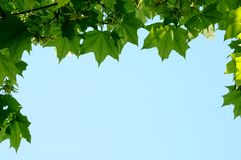 Frame from maple leaves Royalty Free Stock Image