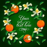 Frame of orange and blossoms of orange tree Royalty Free Stock Photos