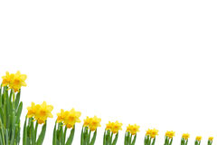 Frame out daffodils Stock Photography