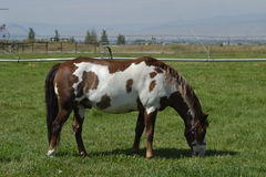 Frame Overo Gelding. A frame Overo Gelding in a grass pasture Royalty Free Stock Image