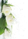 Frame part with white roses Royalty Free Stock Images