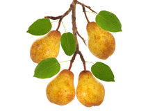 Frame of pears on pear tree branch Stock Photo