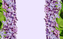 Frame for pictures with lilac flowers Royalty Free Stock Images