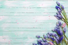 Frame from pink almond and blue muscaries flowers on turquoise w Royalty Free Stock Images