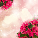Frame of pink poinsettia flower or christmas star Stock Photography